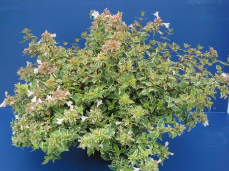 Abelia-grandiflora-Sparkling-Silver