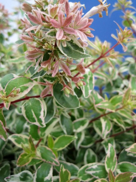 Abelia-grandiflora-Sparkling-Silver_tak_2
