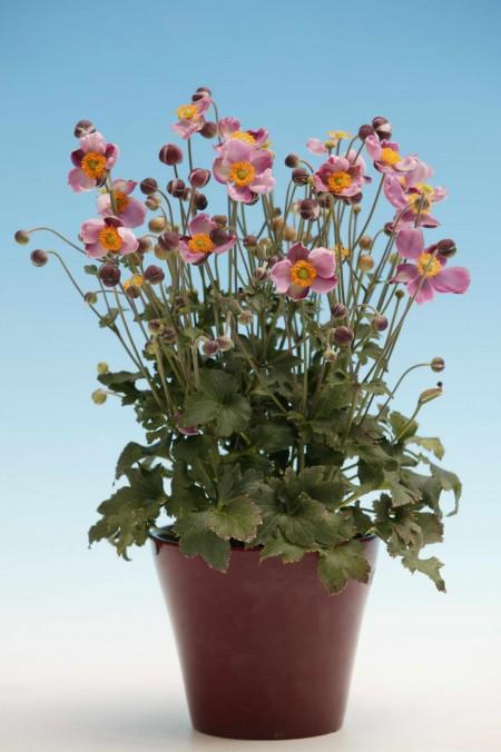 Anemone-hybrida-PKAN-Pink-Kiss