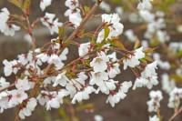 Prunus nipponica 'Felice'