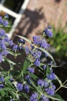 Caryopteris clandonensis 'Elst33' (BLUE EMPIRE) - 1