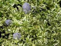 Ceanothus impressus 'Cool Blue'