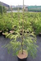 Chamaecyparis lawsoniana 'Filip's Golden Sprinklers' - 1