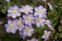 Clematis 'Zo09067' (LUCKY CHARM)
