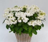 Hydrangea macrophylla 'Dancing Snow' (Doppio Bianco)