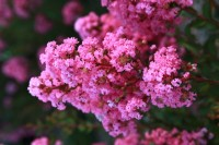 Lagerstroemia indica 'Milarosa' (With Love Girl)