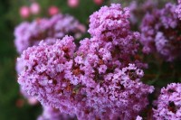 Lagerstroemia indica 'Milavio' (With Love Eternal)