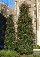Magnolia grandiflora 'TMGH' (ALTA) - 1