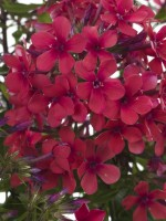 Phlox 'Early Red' (Paniculata Group)