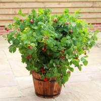 Rubus ideaus 'NR7' (Ruby Beauty)