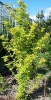 Sambucus nigra 'Jdeboer001' (Golden Tower)