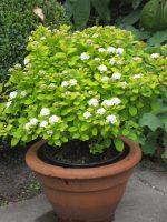 spiraea-betulifolia-tor-gold